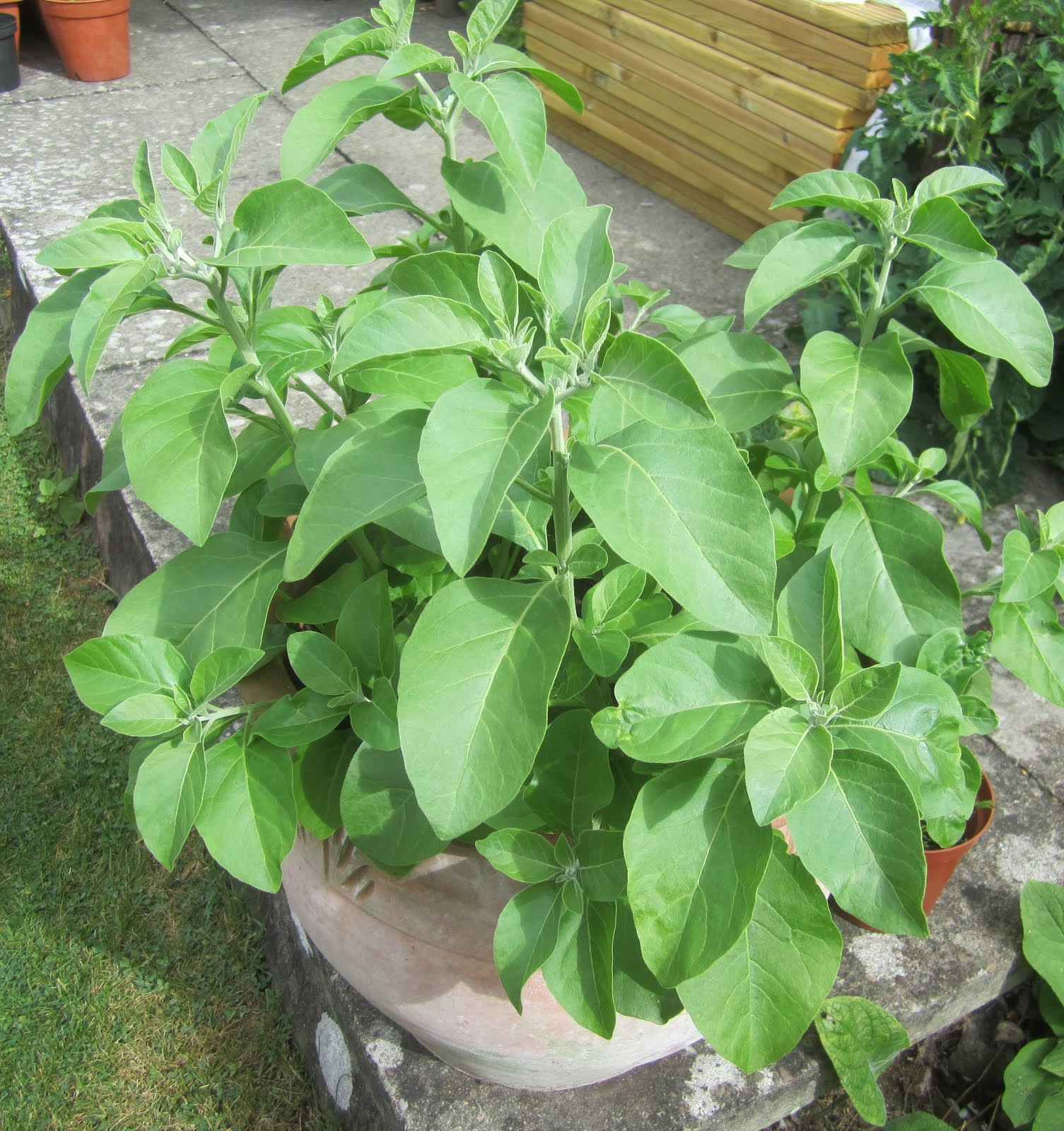 Ashwagandha pot plants