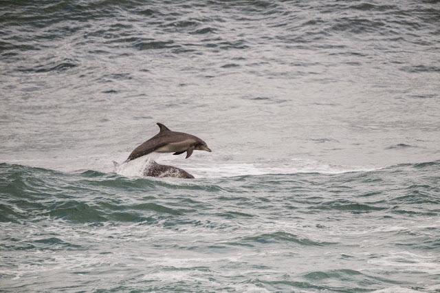38 Drug Aware Margaret River Pro 2015 Dolphins at Margaret River Foto WSL