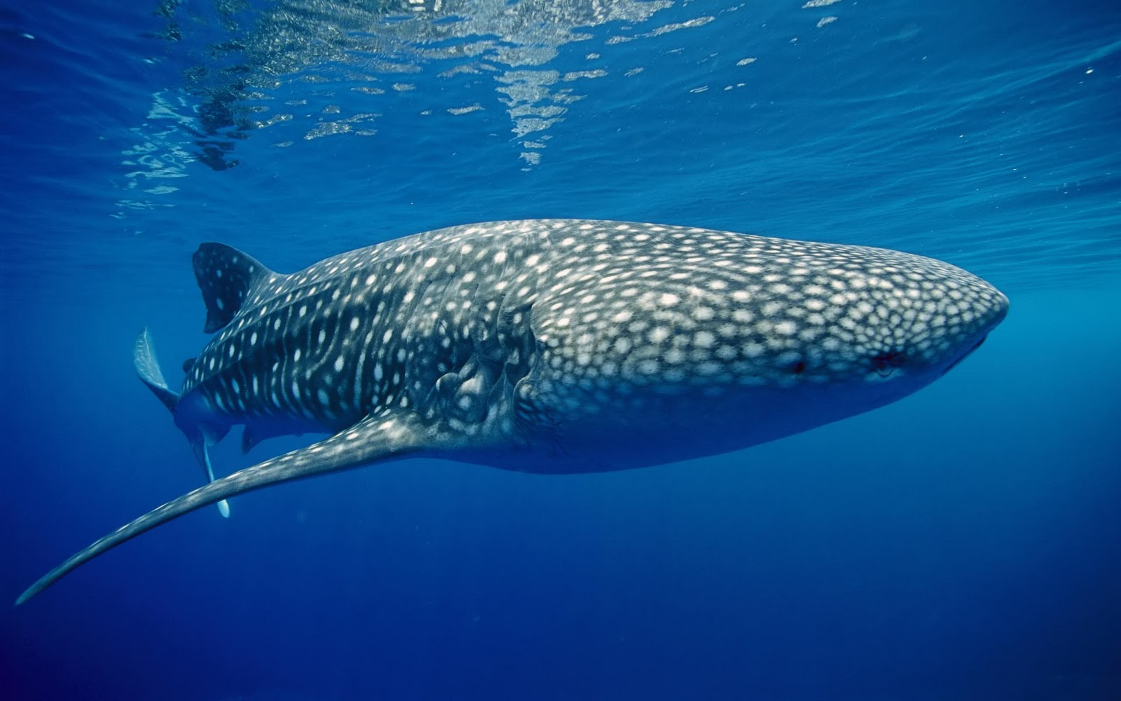 Whale Shark - Amaxing