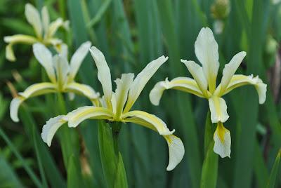 Спуриа ирисы, сеянцы ириса солелюбивого (Iris halophila Pall.)