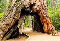 Famous Sequoia Felled