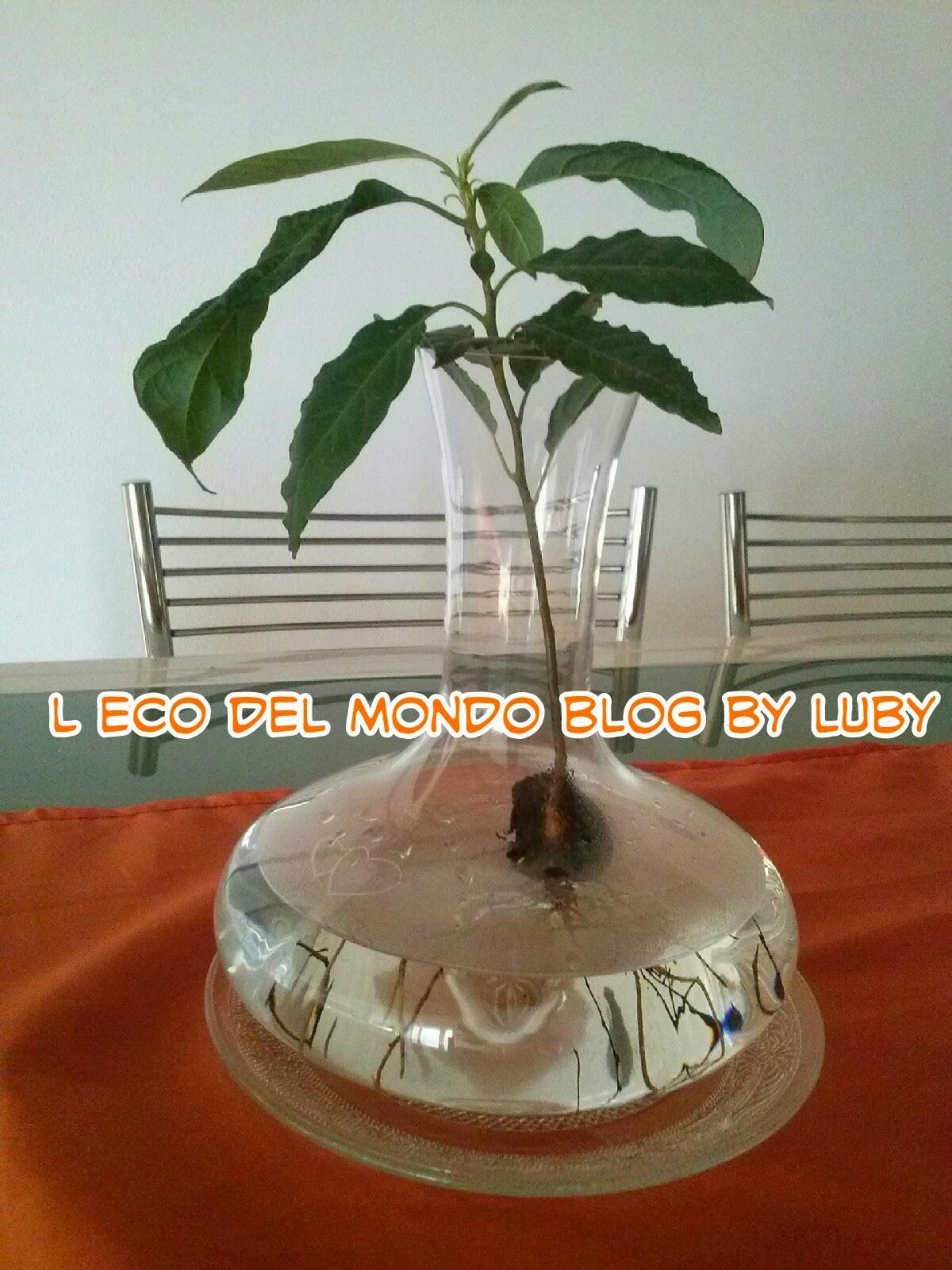 pianta di avocado in idrocoltura