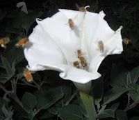 cluster of honey bees visiting datura wrightii flower