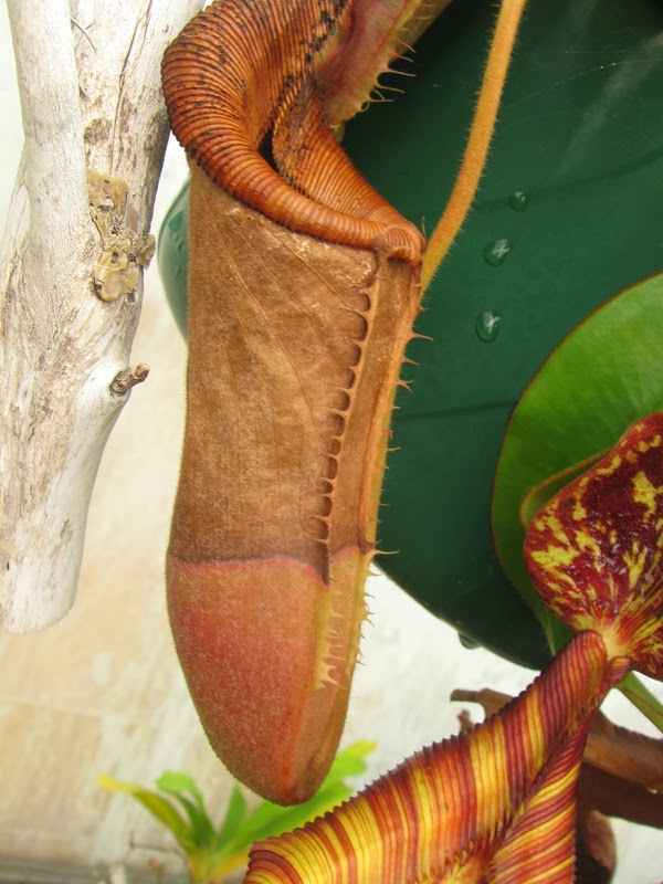 Carinvorous Plant at Mesa Exotics - nepenthes, dried pitcher