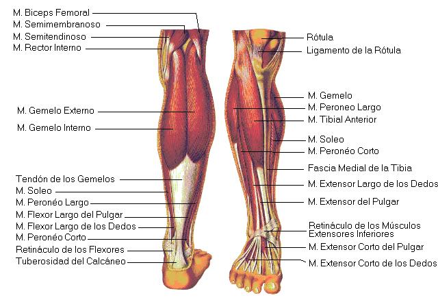Piernas el cuerpo humano y sus partes explicado y dibujos - Dolor en la parte interior de la rodilla ...