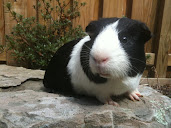 #13 Guinea Pigs Wallpaper