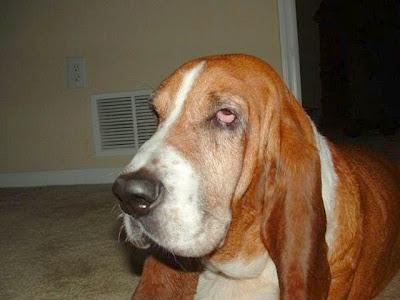 Cão da raça basset hound, com suas orelhas caídas e cara de desânimo.