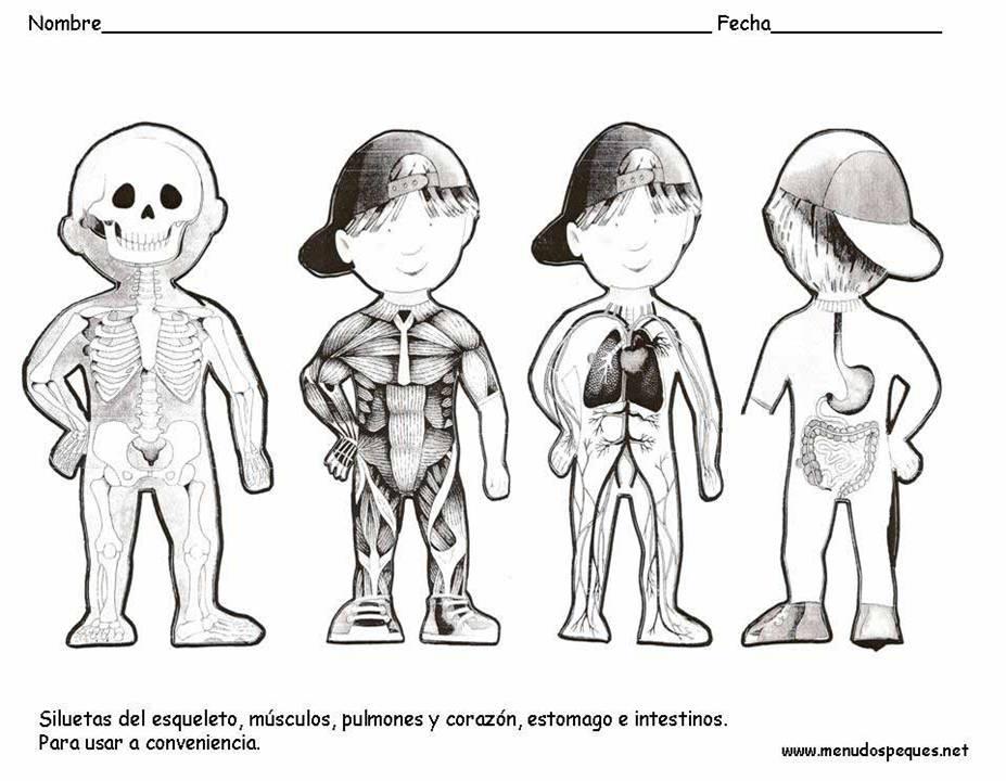 Material Didáctico: El cuerpo humano, esqueleto y órganos internos