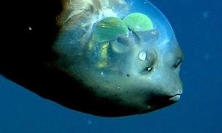 Рыба с прозрачной головой: Macropinna microstoma