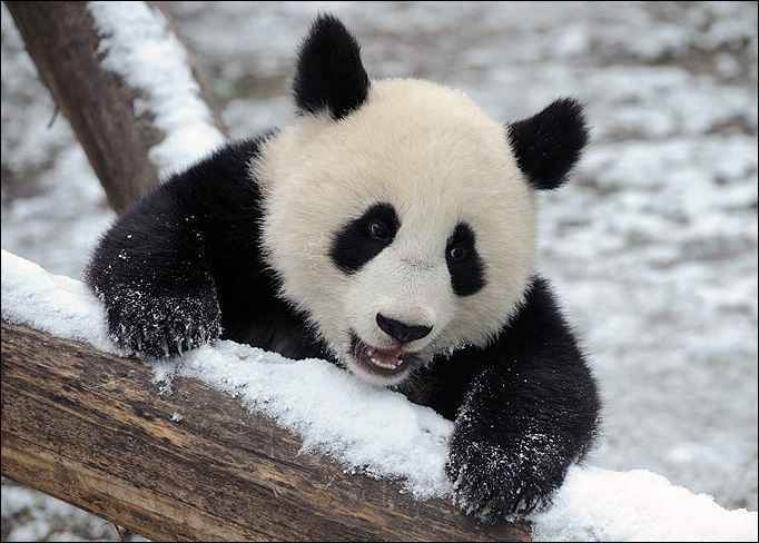 Funny image: Cute Baby Panda Pictures