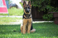german shepherd guard training tips