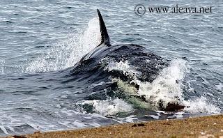 Orcas in Caleta Valdes and Punta Norte