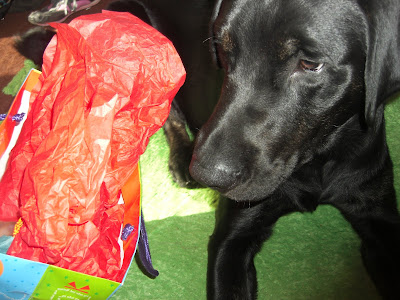 Picture of Rudy staring at a gift bag... he's ready to open it!