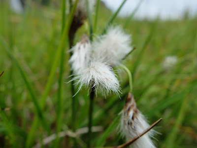 Eriophorum angustifolium – Common Cottongrass (#429)