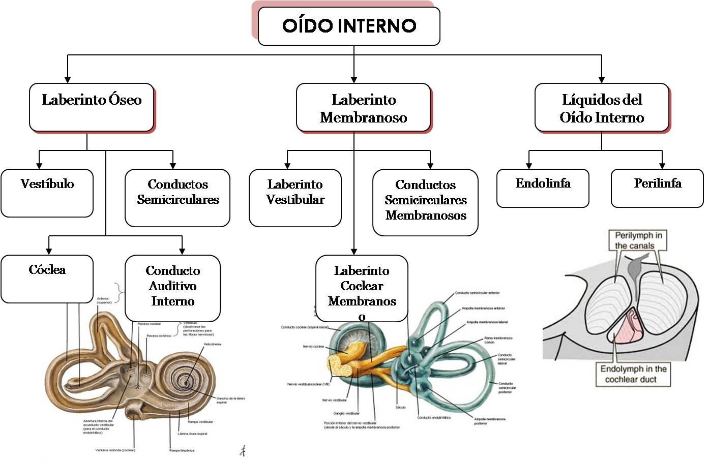 Anatomía: Oído Interno | ESBOZOS MÉDICOS