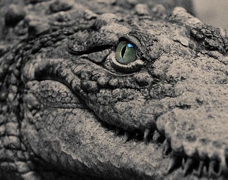 Mơ thấy 2 con cá sấu của bạn Huế