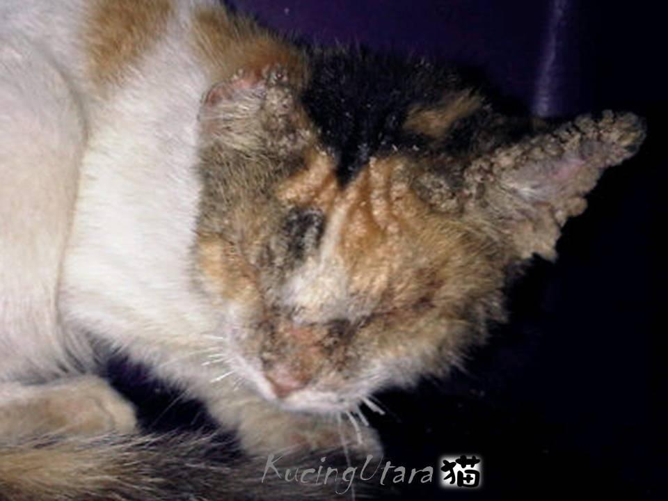 Kucing Utara Scabies Ataupun Kudis Kucing
