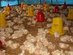 Flu Burung dan Pencegahannya