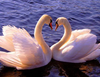 Gambar Angsa Romantis