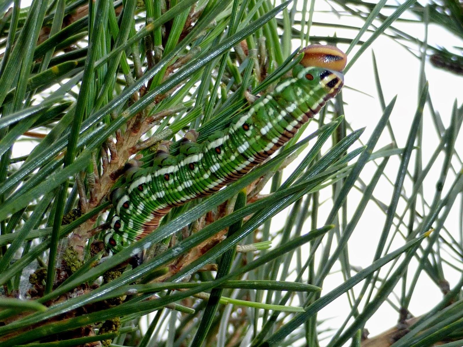 Sphinx pinastri caterpillar
