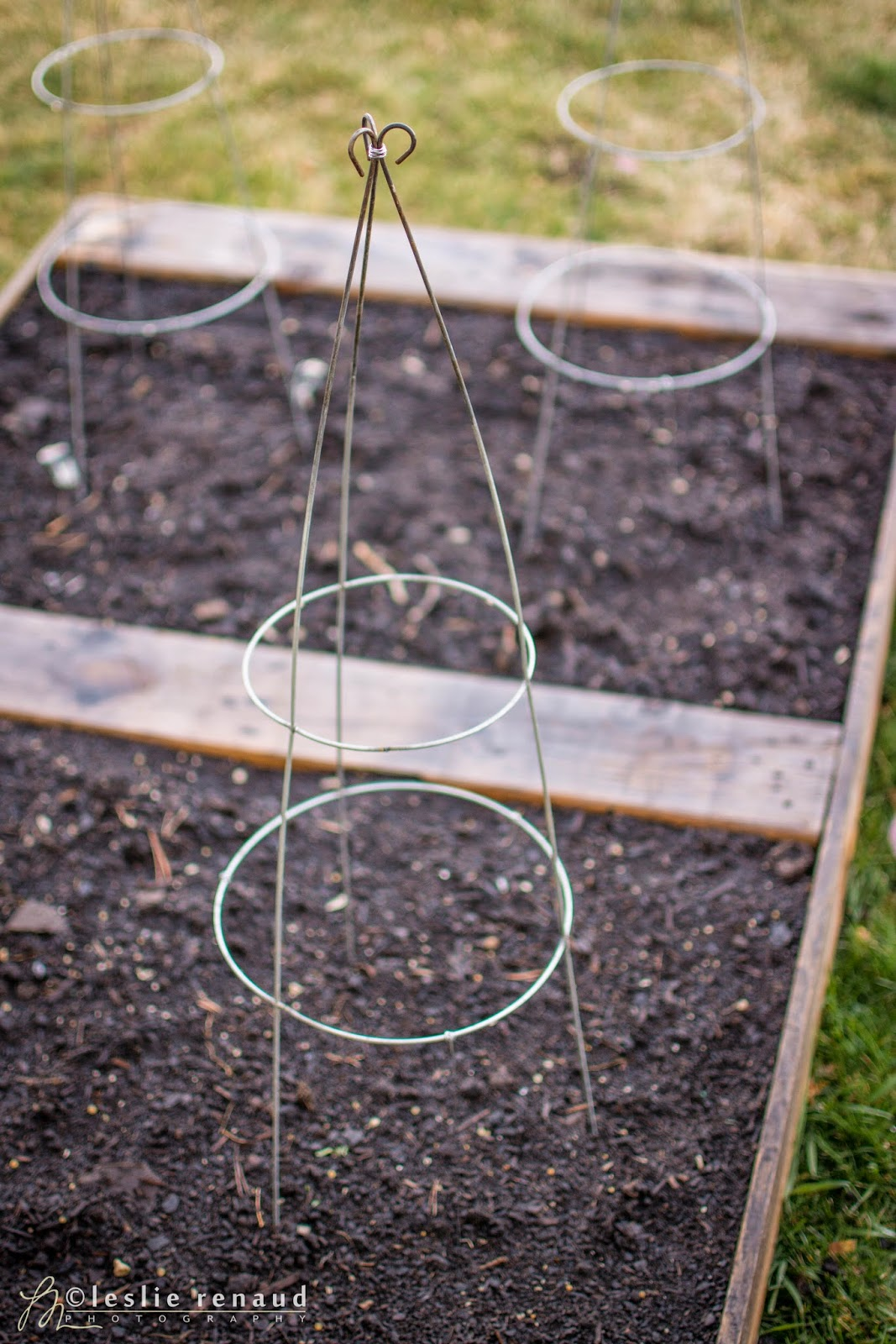 The Lucky Fox: Tomato cage trellis