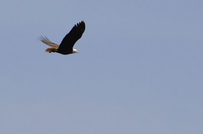 bald eagle flying int the San Juan Islands by Nancy Zavada