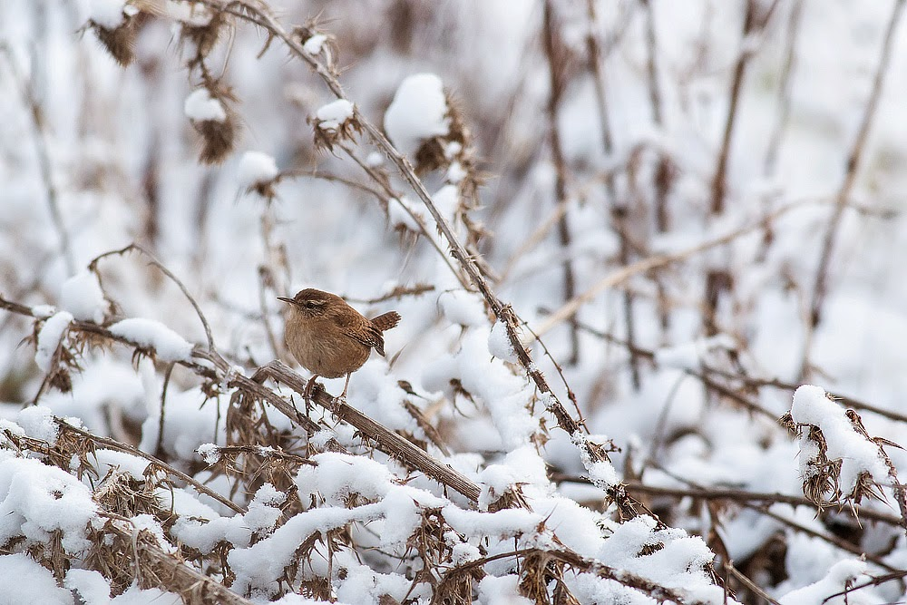 European (winter) Wren