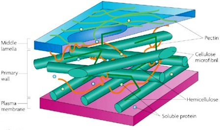 Structure of cell wall