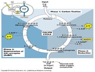 siklus calvin pada tanaman C-3