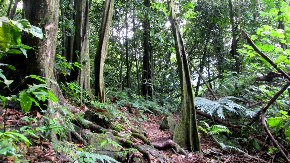 Forêt de mape en Polynésie