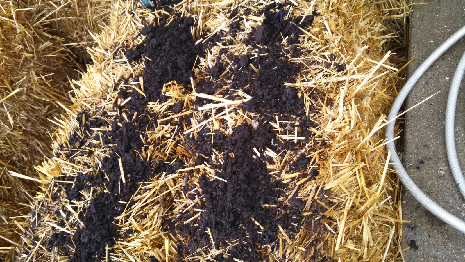Day 5 of Straw Bale Conditioning, with Fertilizer Added