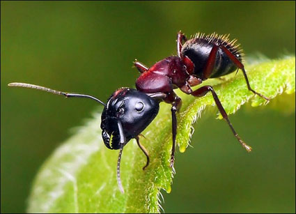 مستعمرات النمل-عجائب النمل-صور للنمل