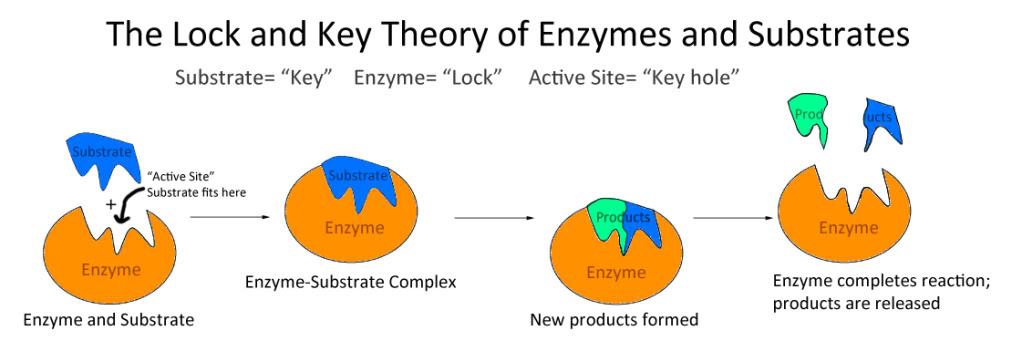 Senior Biology Enzymes