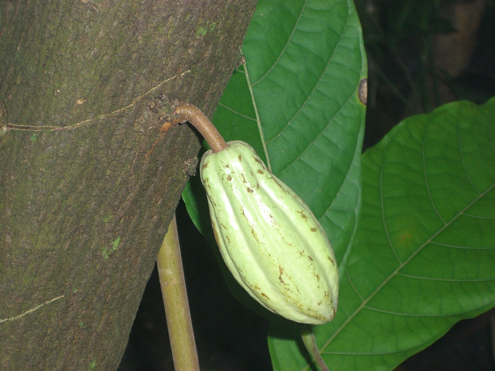 You Can See Cacao Trees Growing In The Fuqua Conservatory At The Atlanta  Botanical Garden. On September 10 11, ...