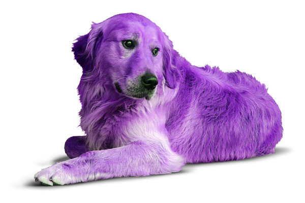 Is Lavender Good For Dogs