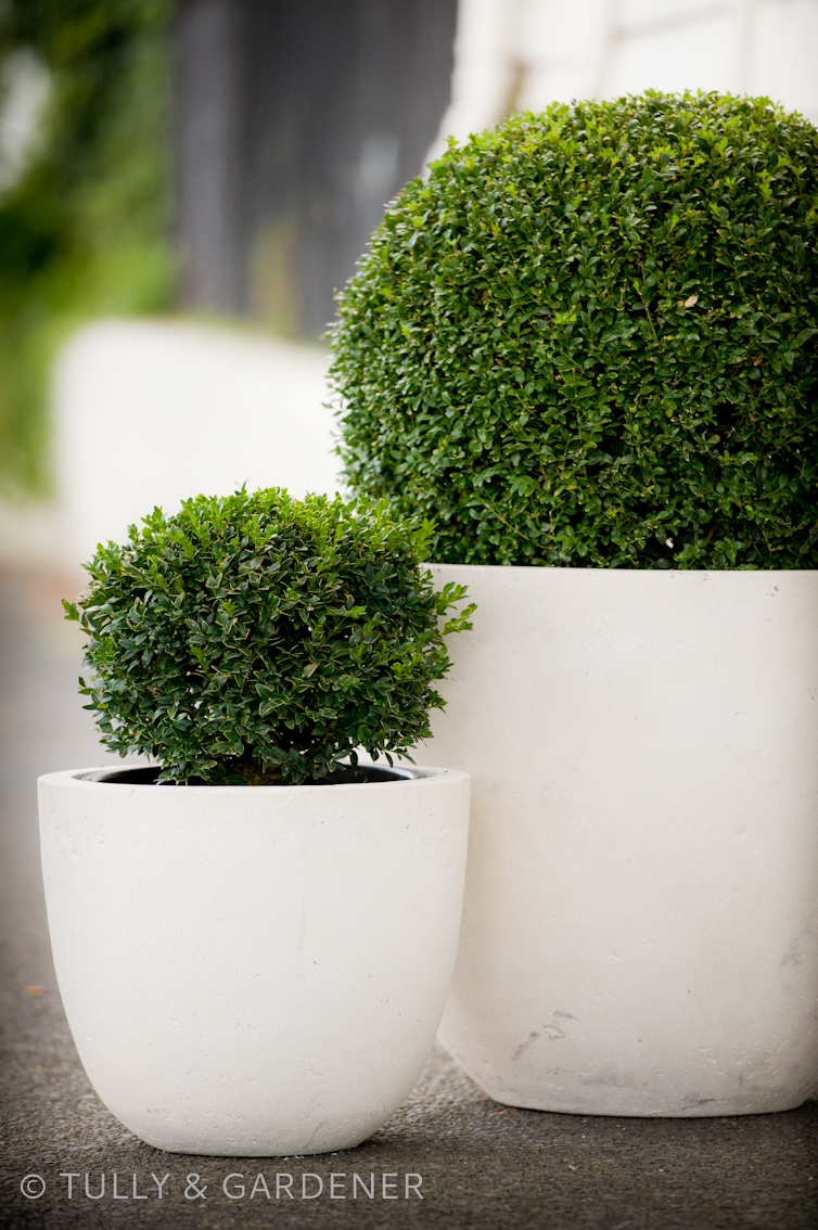 tully 39 s tips tricks love your buxus. Black Bedroom Furniture Sets. Home Design Ideas