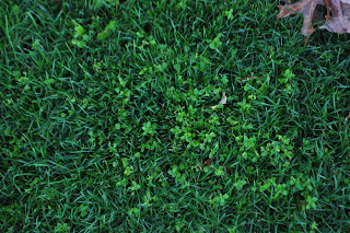 Clover in new grass seed