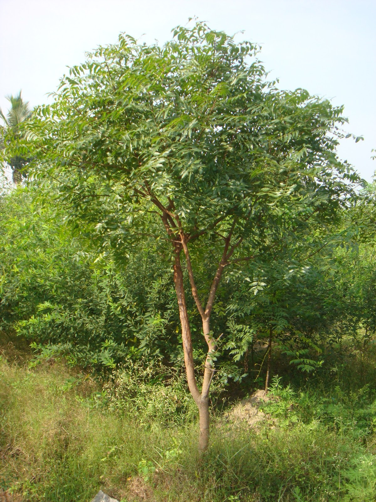 Cached Neem tree pictures photos