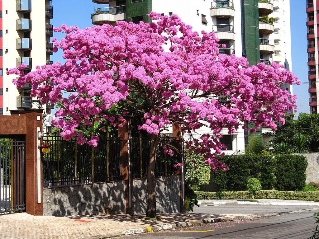Elarbolmiamigo encinarosa lapacho rosado tabebuia for Arboles para sombra de poca raiz