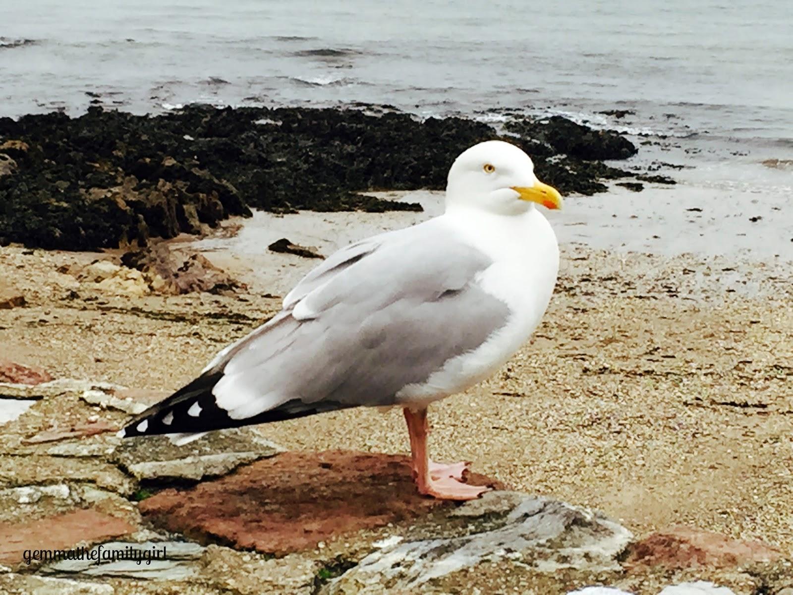 seagull, gull, sea bird, bird, cornwall, cawsand, sunday photo, photo, birds, blogger, blog, parent blog, plymouth bloggers, plymouth blog, single, lifestyle,