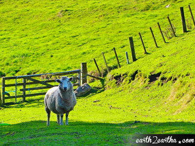 A sheep in New Zealand