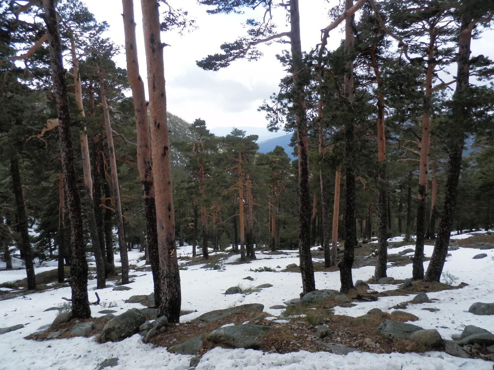 Imagen-del-pinar-nevado-en-la-ruta-del-Camino-Schmidt