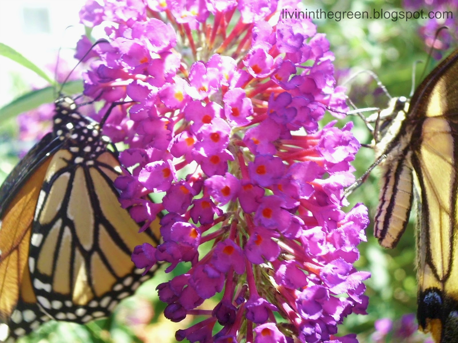 Livin In The Green Attracting Butterflies Plant These and They Will Co