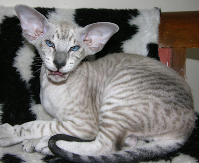 peterbald cat pets information