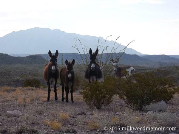 wild burros, ruidosa, texas