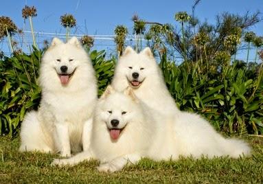 Samoyed dijuluki anjing tersenyum.
