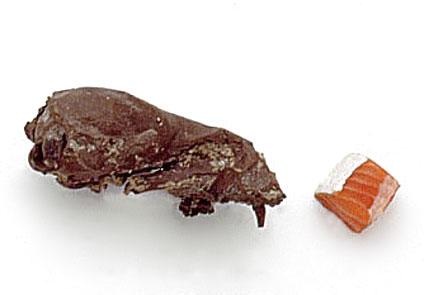 Potamotherium skull