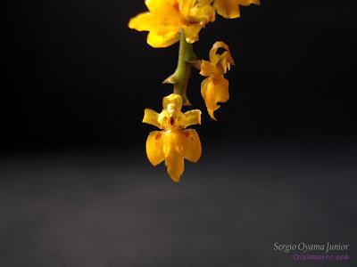Micro-orquídea Oncidium pumilum