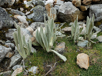 Senecio canescens at Salkantay Pass
