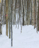 Nice birches in the Ski Bowl Glade.  Gore Mountain, January 6, 2013.  The Saratoga Skier and Hiker, first-hand accounts of adventures in the Adirondacks and beyond, and Gore Mountain ski blog.